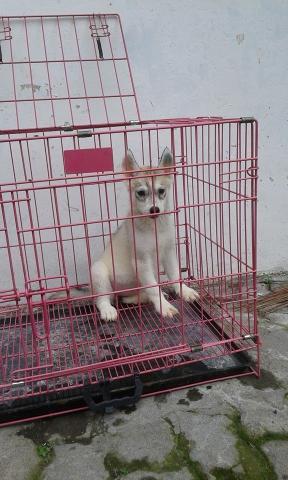 Foto: Jual Anjing Siberian Husky Stambum