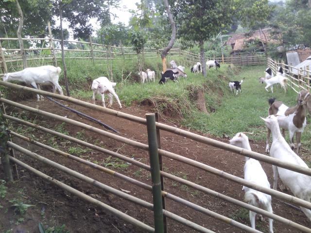 Foto: Susu Kambing Asli Bandung