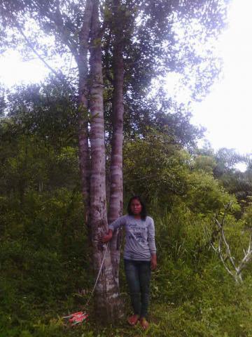 Foto: Jual Pohon Gaharu