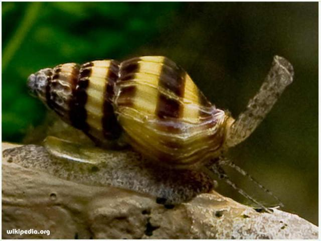 Foto: Assassin Snail ( Keong Pemakan Hama Siput )