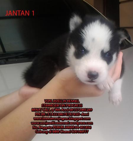 Foto: Jual 4 Anak Anjing Siberian Husky (blue Eyes-big Bones)