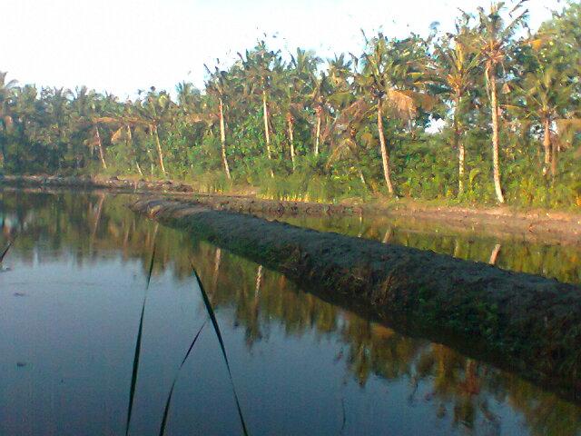 Foto: Tambak Gurame Perkebunan Kelapa