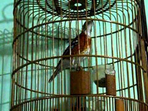 Foto: Burung Anis Cendana