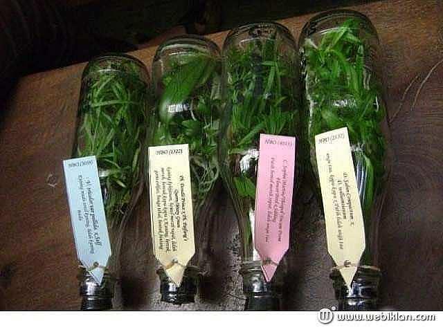 Foto: Jual Bibit Anggrek Botol Harga 29rb/botol