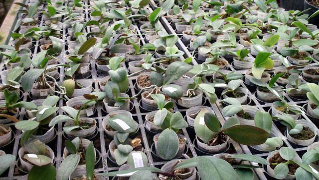 Foto: Jual Bibit Anggrek Seedling 9rb/bibit
