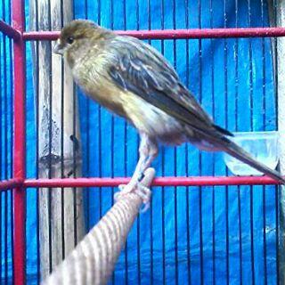 Foto: Jual Burung Kenari (af, Afs, F1ys, F2ys) Harga Nego.