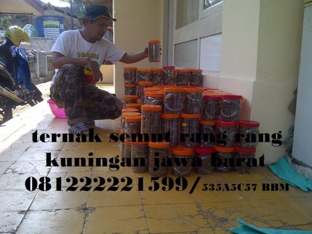 Foto: Ternak Semut Rang Rang