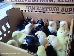 Foto: Sumber Rejeki Farm Kediri | Doc Joper | Dod Entok | Doc Ayam Kampung Asli