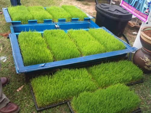 Foto: Jual Benih Wheat Grass (Rumput Gandum) Di Surabaya Sidoarjo