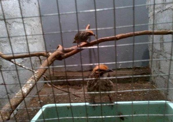Foto: Dijual Sepasang Cucak Rawa/Rowo Dewasa Suara Ropel Asli Sumatra
