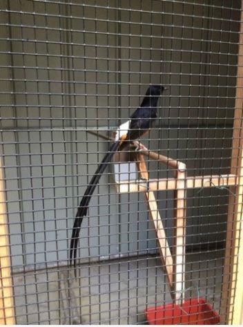Foto: Dijual Burung Murai Batu Medan Hasil Tangkaran Seleksi Jawarah