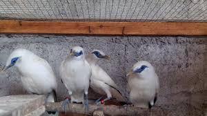 Foto: Dijual Sepasang Burung Jalak Bali