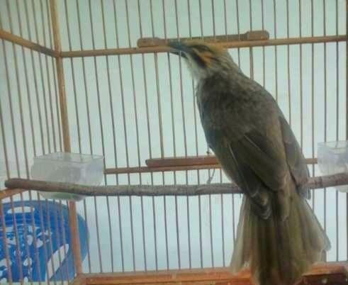 Foto: Dijual Burung Cucak Rowo Medan Jenis Ropel