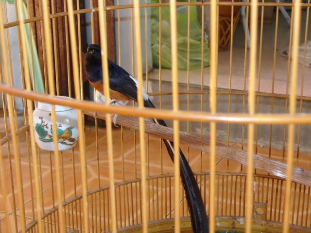 Foto: Burung Murai Batu Medan Super
